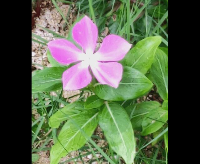 AQUOS R6のAIモードで撮影した花